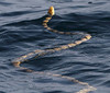 Offshore Khor Kalba, 20.08.2010<br /> © Derrick Wilby<br /> <br /> - proposed Yellow Sea Snake Hydrophis spiralis spiralis<br /> - Yellow narrow-banded sea snake (Hydrophis spiralis) suggested by Sabah Ibrahim, Emirates Marine Environmental Group