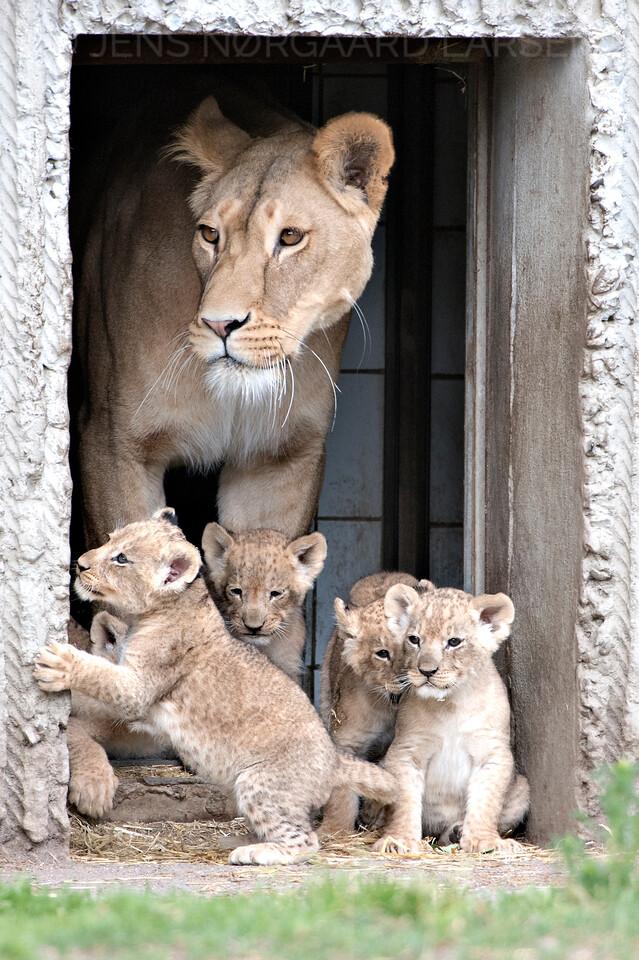 Løveunger