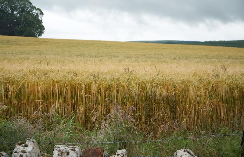 Winter Barley on Mackenzie's farm,
