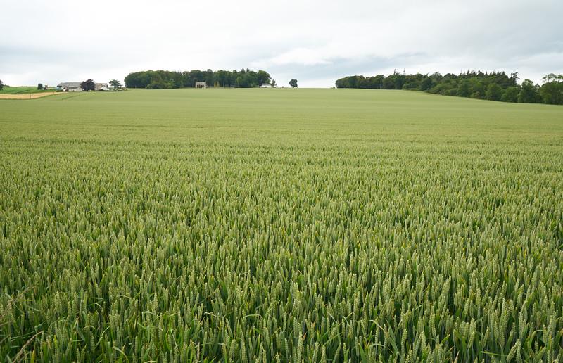 Wheat near Tain