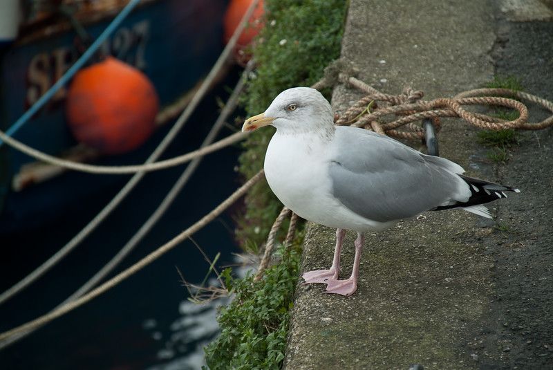 Herring Gull, Padstow