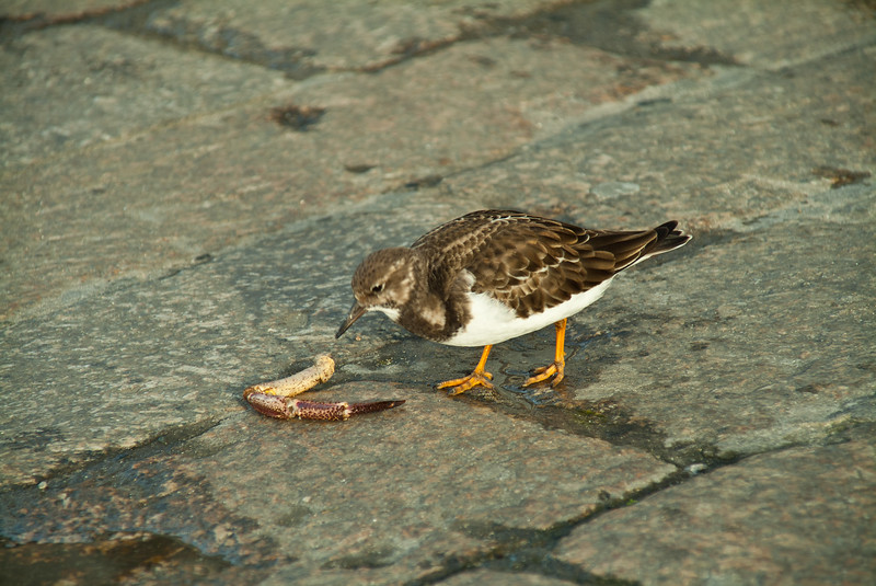 Turnstone, Harbour, St. Ives