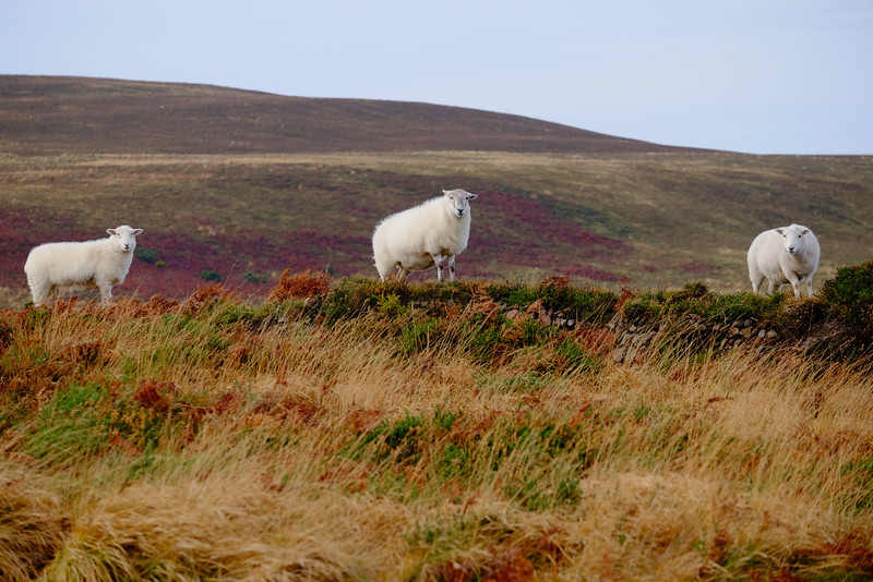 Sheep, Exmoor, Devon