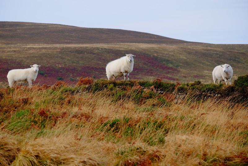 Sheep, Exmoor, Devon