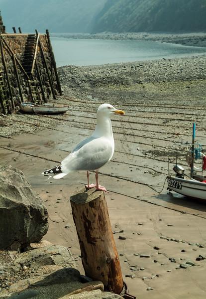 Herring Gull, Clovelly