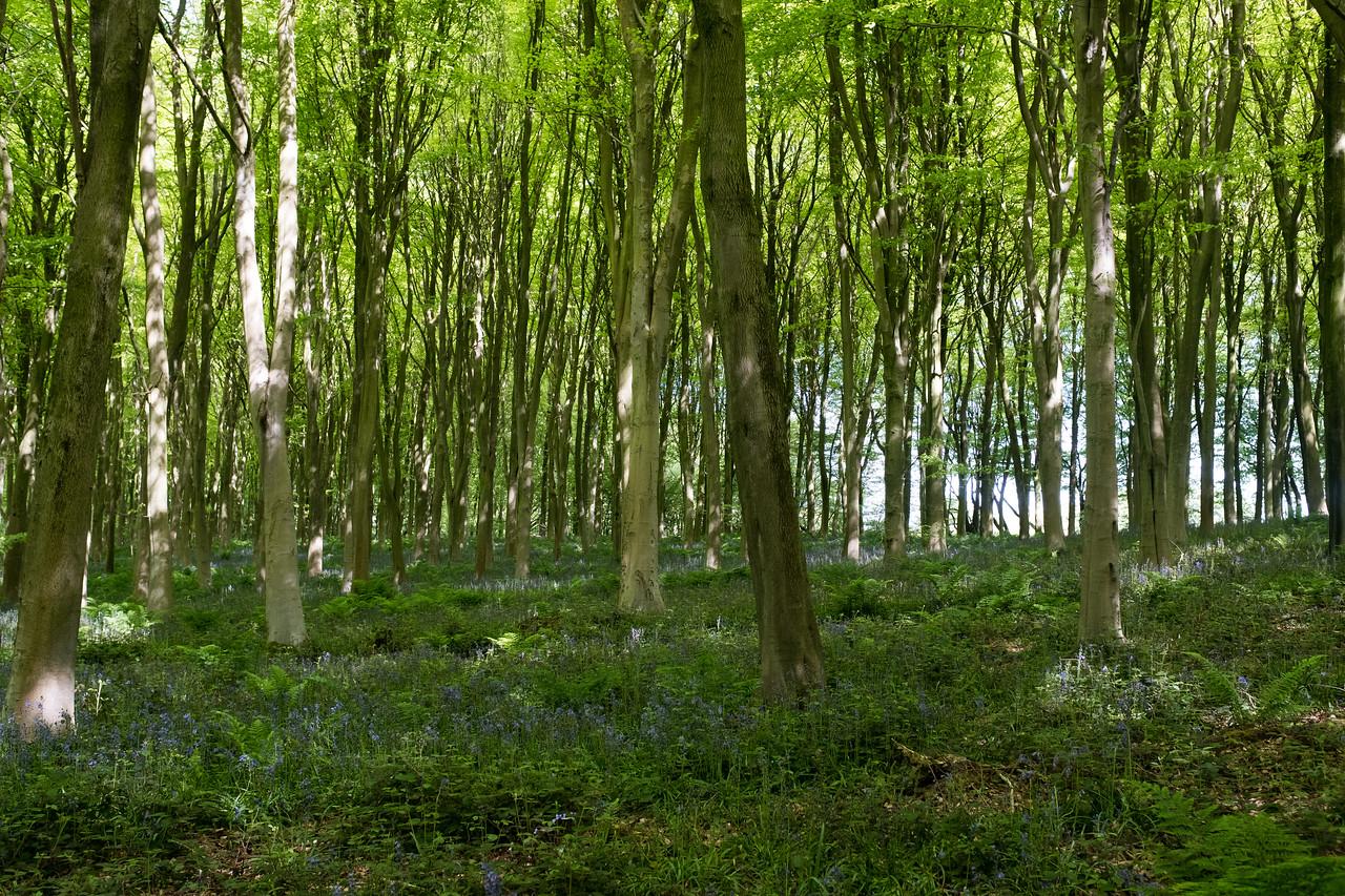 Denge Wood Petham UK May 2017