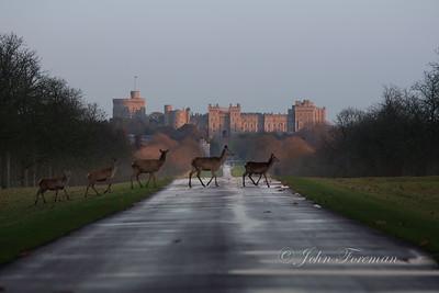 Red deer hinds, Windsor Great Park
