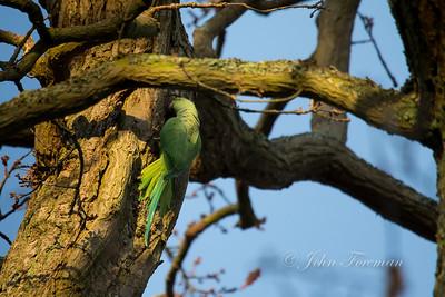 Parakeet, Windsor Great Park