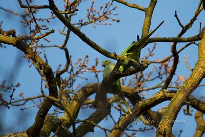 Parakeets, Windsor Great Park