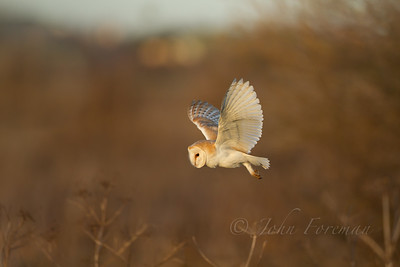 Barn owl, Wicken Fen