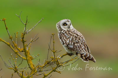 Short eared owl, Wicken Fen