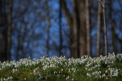 Kingston Lacy snowdrops