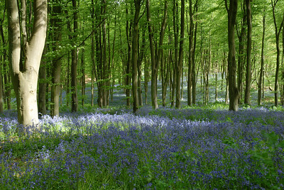 West Wood, Savernake Forest, Wiltshire.