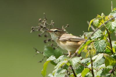 Sedge Warbler, Kent