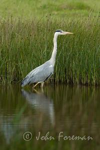 Grey heron, Kent