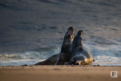 Grey Seals, Horsey