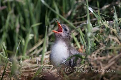 Juvenile Arctic Tern, Farne Islands