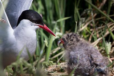 Arctic Terns, Farne Islands