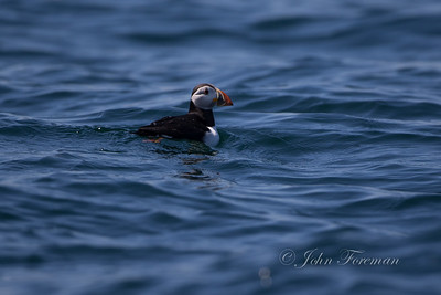 Puffin, North Berwick