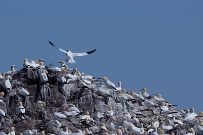 Gannets, Bass Rock