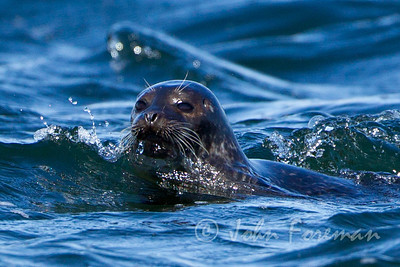 Grey Seal at Chanonry Point, Inverness