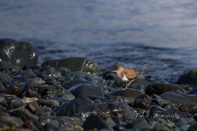 Common Sandpiper, Mull