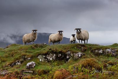 Scottish Black-faced Sheep, Isle of Mull