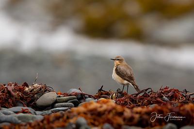 Wheatear, Isle of Mull