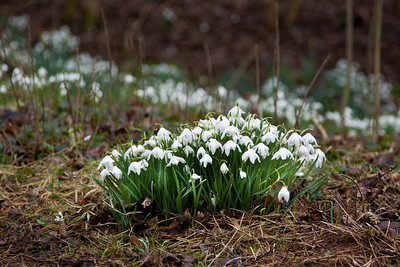 Snowdrop clusters