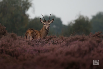 Young Red Stag