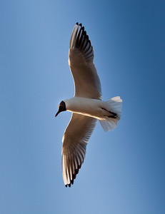 Black headed tern