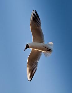 Black headed tern