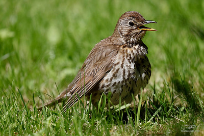 Grive musicienne/Song thrush