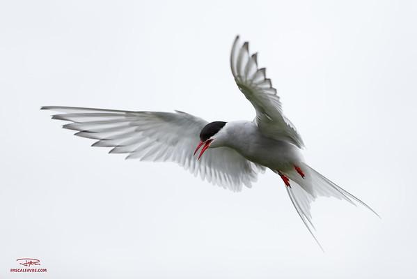 Sterne arctique/Arctic tern