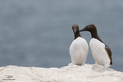 Guillemot de Troïl (commun & forme bridée)/Common murre (common & bridled form)