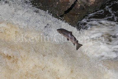 Salmon Jumping at Falls of Shin