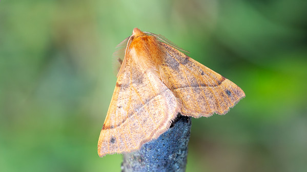 Feathered Thorn