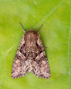 Pale Shouldered brocade moth