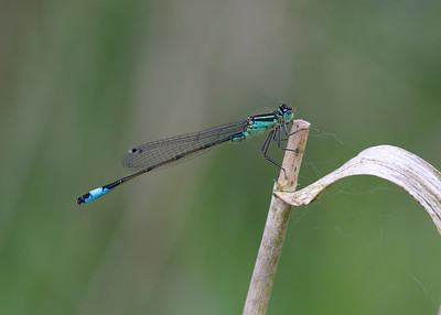 Blue tailed damselfly (male)