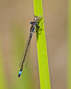 Blue-tailed damselfly with prey