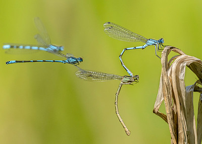 Common blue damselflies mating (17.6.20)