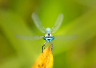 Common blue damselflies full face