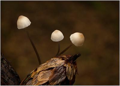 Conifer Cone cap (Baeospora myosura on Spruce cone