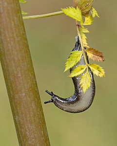 Slug in Evening Light