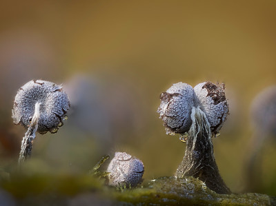 Physarum Slime mold