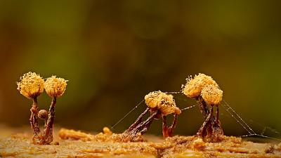 Cribraria aurantiaca