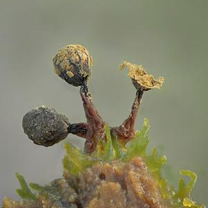 Cribraria Species- 3 stages pf sporangium