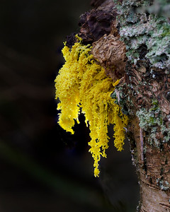 Dog's vomit slime mould