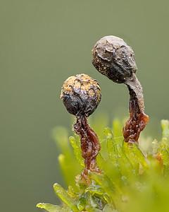 Cribraria Species