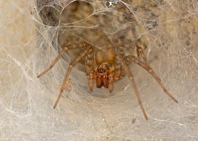 Tegenaria Sp. Spider